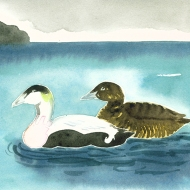 Eiders, North Sea - watercolour painting by Jo Dunn 2012